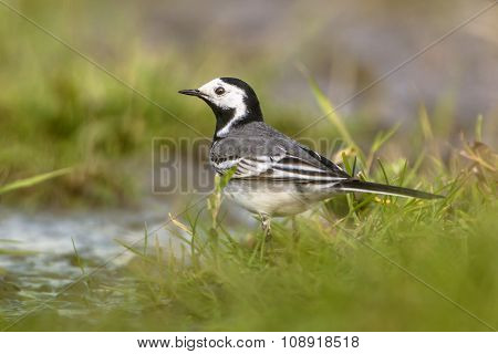 White Wagtail Male