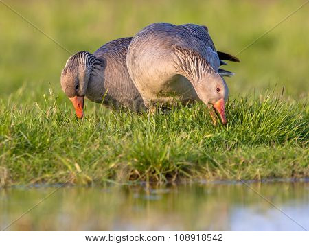 Two Greylag Goose Feeding On Grass