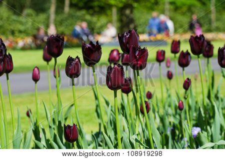 Black Tulip Flowers In Keukenhof Garden