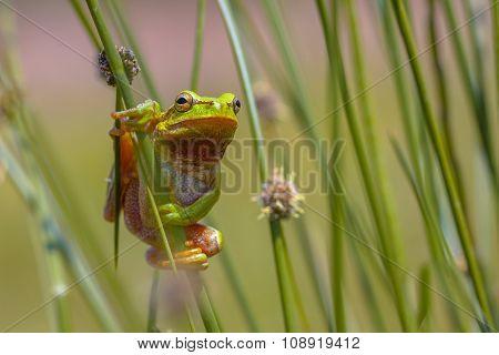 Climbing Green European Tree Frog