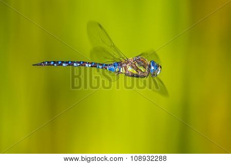 Large Flying Dragonfly
