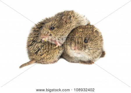 Two Common Vole