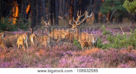 Group Of Red Deer