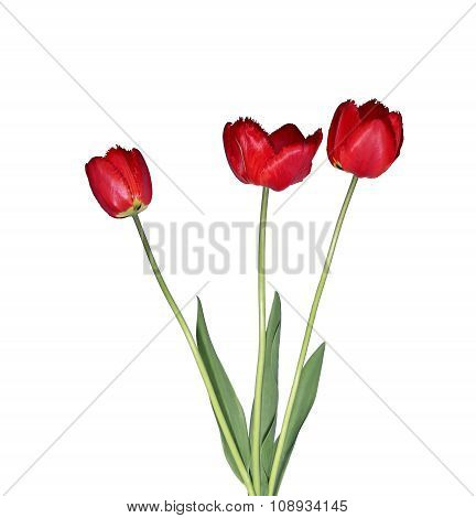 Big Bouquet Of Red Tulips Isolated