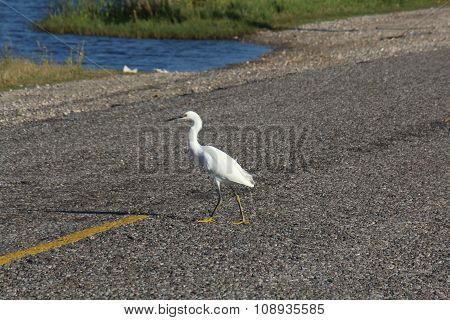 Snowy egret crossing road