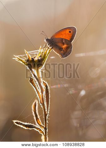 Small Heath Butterfly (coenonympha Pamphilus) Backlit By Morning Sun