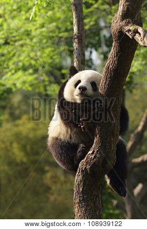 Panda Cub Sleeping On A Tree.version Ii