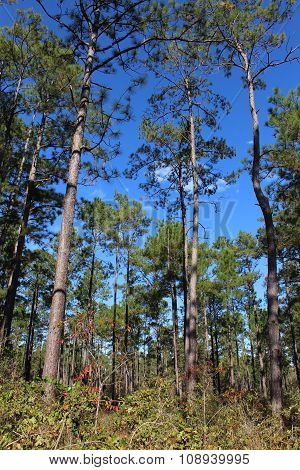 Big Thicket trees