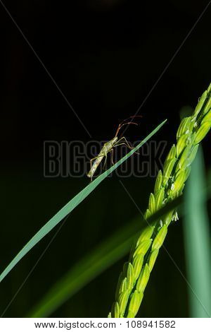 Rice Bug Is Climbing On Rice Grain, In The Night Time