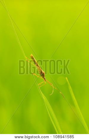 Rice Bug Is Climbing On Rice Leaf, In The Day Time