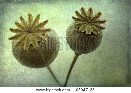Dry poppy flowers closeup textured