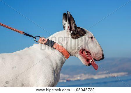 Bullterrier Dog