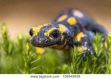 Close Up Of Fire Salamander In Its Natural Habitat