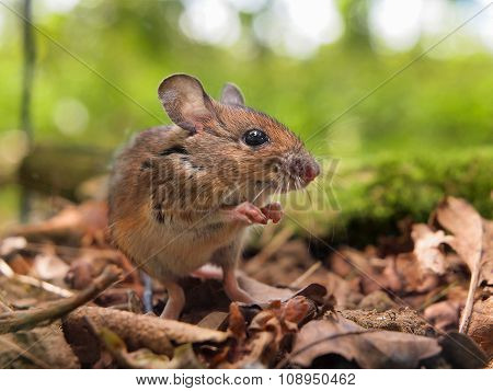 Field Mouse (apodemus Sylvaticus) Praying
