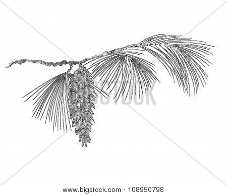 Pine Branch With Pinecones As Vintage Engraving Vector