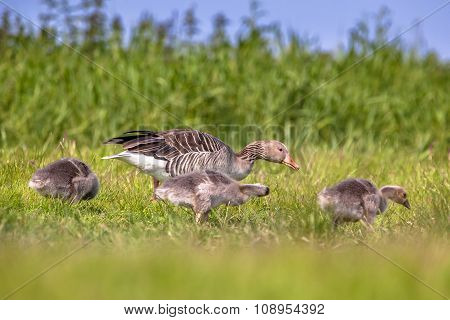 Family Greylag Goose Feeding On Grass
