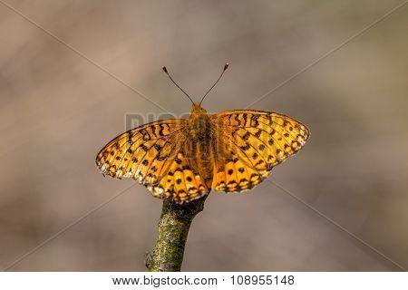 Dark Green Fritillary (argynnis Aglaja) Butterfly