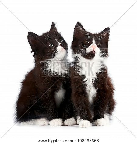 Two Black And White Kittens