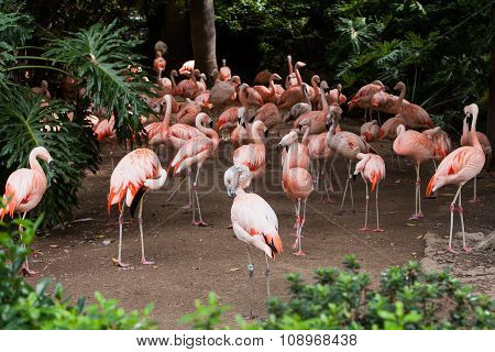 Group of pink flamingos in its natural environment