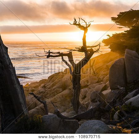 Romantic Sunrise Near Point Lobos With Old Dried Trees At The Stone Beach And A Cypress