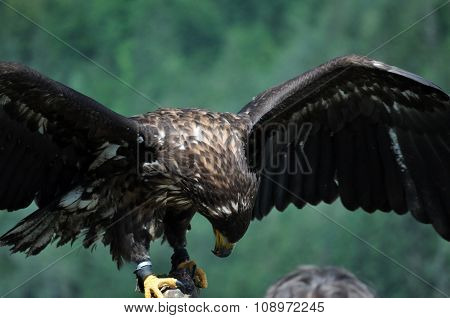 Sea Eagle In The Alps, Austria