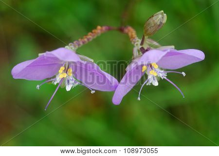 Flower Giganteum Murdannia At Phusoidao Mountains In Thailand