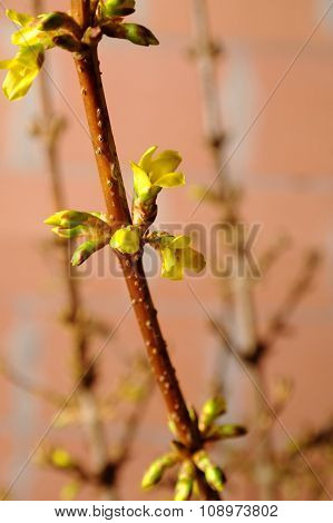Buds Of A Forsythia