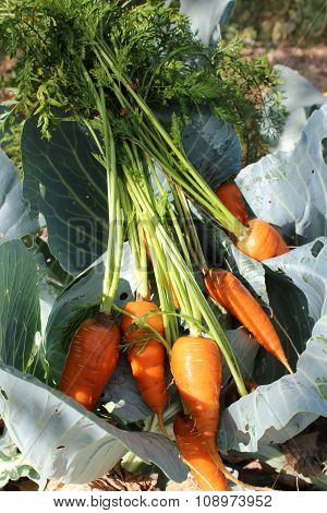 Carrots On The Cabbage