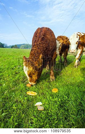 Cattles At The Meadow Eating Rolls