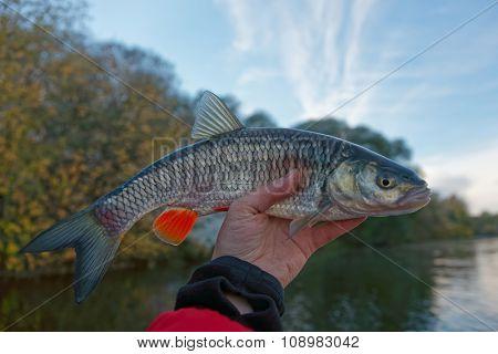 Chub in fisherman's hand, late autumn