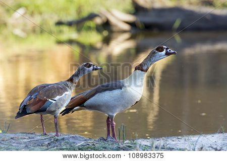 Egyptian Goose In Kruger National Park
