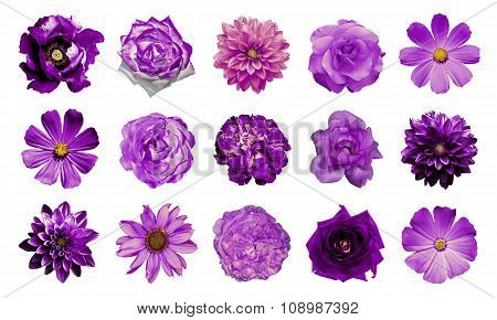 Mix Collage Of Natural And Surreal Violet Flowers 15 In 1: Dahlias, Primulas, Perennial Aster, Daisy