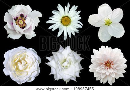 Mix Collage Of Natural White Flowers 6 In 1: Peony, Dahlia, Roses, Flax Flower And Daisy Flower Isol