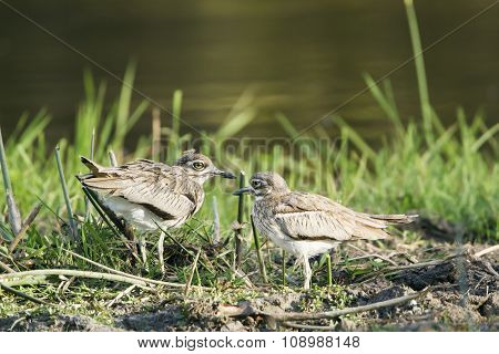 Water Thick-knee In Kruger National Park