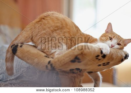 Red With White The Domestic Cat