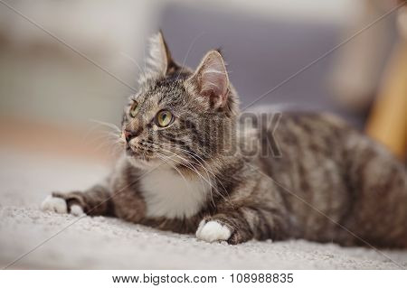 Portrait Of The Interested Cat Of A Striped Color