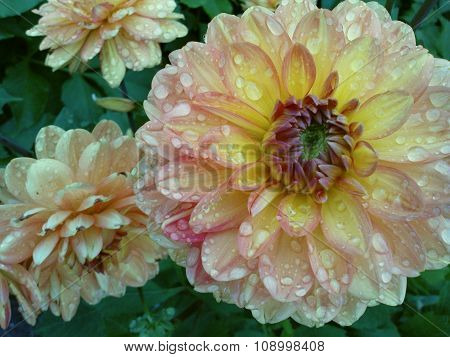 Dahlia blossoms with raindrops
