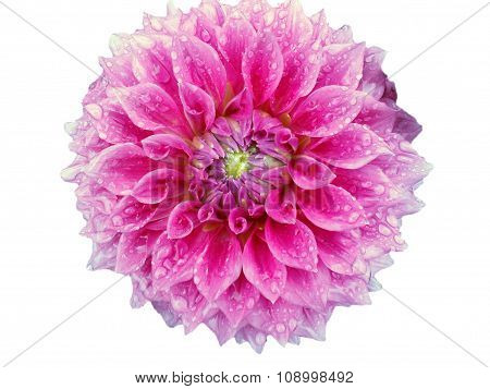 Dahlia blossom with raindrops