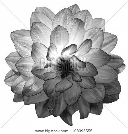 Dahlia with raindrops in black an white
