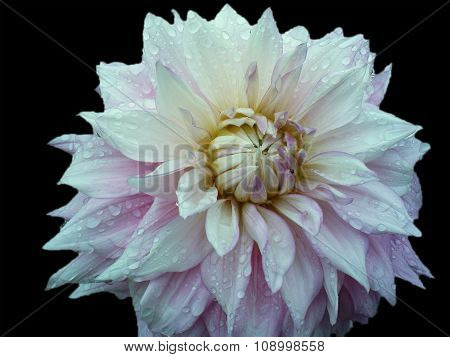 Dahlia blossem after raining