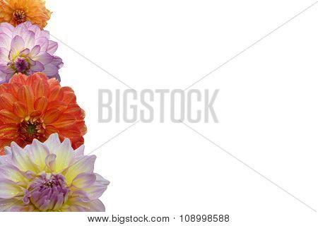 Dahlia blossoms