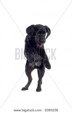Retriever Labrador Having Fun