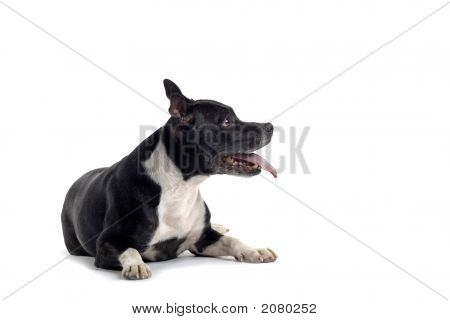 Adorable Bull Terrier Dog