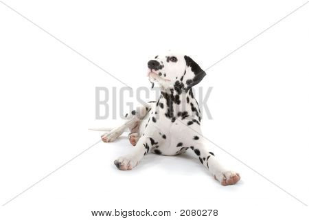 Adorable Dalmatian Laying Down