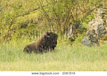 Bison Bull 1