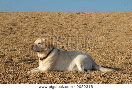Yellow Labrador Lying On Sunny Pebble Beach