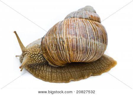 Helix pomatia. Big Roman snail on a white background.