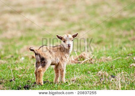 Animal Kid