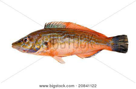Cuckoo Wrasse Fish
