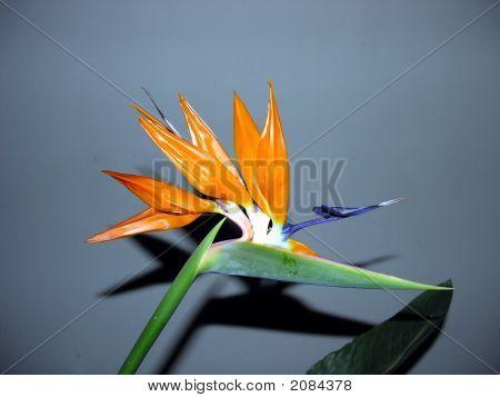 Dragon Tree Flower